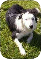 Border Collie Dog for adoption in Phelan, California - BUBBA