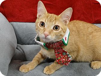 Domestic Shorthair Kitten for adoption in Diamond Bar, California - ROMEO