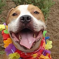 Adopt A Pet :: Rembrandt - Canoga Park, CA