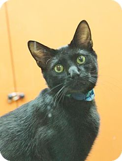 Domestic Shorthair Cat for adoption in Benbrook, Texas - Benny