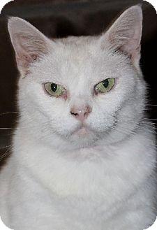 Domestic Mediumhair Cat for adoption in Savannah, Missouri - Lolly