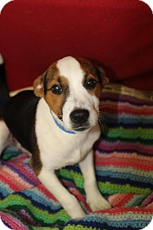 Jack Russell Terrier Mix Dog for adoption in Waldorf, Maryland - Squirley