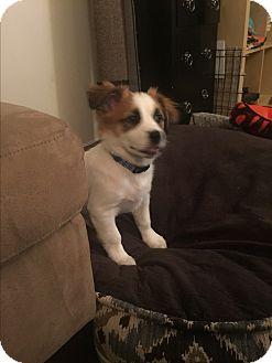 Border Collie/Shih Tzu Mix Puppy for adoption in Atlanta, Georgia - Oliver