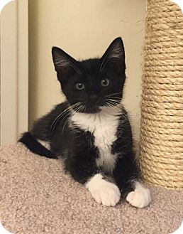 Domestic Shorthair Kitten for adoption in Cherry Hill, New Jersey - Eliza