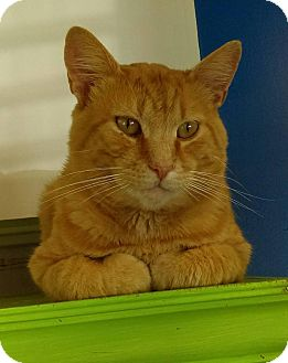 Domestic Shorthair Cat for adoption in Austintown, Ohio - Taco