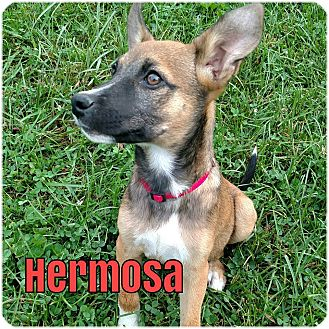 German Shepherd Dog Mix Puppy for adoption in Greeneville, Tennessee - Hermosa