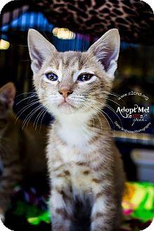 Domestic Shorthair Kitten for adoption in Charlotte, North Carolina - A..  Apollo