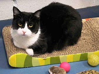 Domestic Mediumhair Cat for adoption in Hampton Bays, New York - NAOMI
