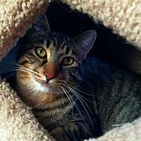 Domestic Shorthair Cat for adoption in Prescott, Arizona - Mr. Big