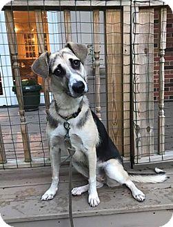 Husky/German Shepherd Dog Mix Puppy for adoption in Sharon Center, Ohio - Lexi