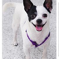 Adopt A Pet :: LilBit best Chihuahua ever - Sacramento, CA