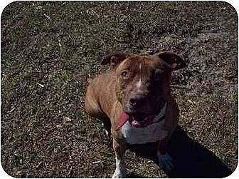 American Pit Bull Terrier Mix Dog for adoption in Lutz, Florida - Maggie