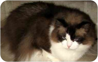 Ragdoll Cat for adoption in Keizer, Oregon - Cheeks