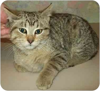 Domestic Shorthair Kitten for adoption in North Judson, Indiana - Timmy