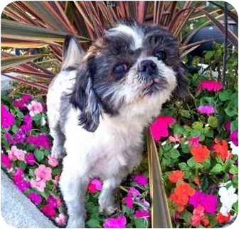 Shih Tzu Dog for adoption in Los Angeles, California - KRINGLE