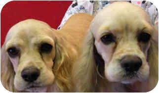 Cocker Spaniel Dog for adoption in Tahlequah, Oklahoma - Bella & Donna