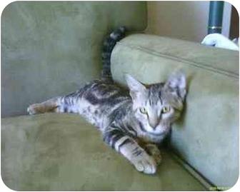 Domestic Shorthair Cat for adoption in San Ramon, California - Kasey