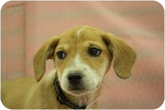 Shepherd (Unknown Type)/Collie Mix Puppy for adoption in Broomfield, Colorado - Genesee