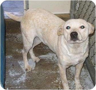 Australian Cattle Dog Mix Dog for adoption in Mt. Vernon, Illinois - Jessie