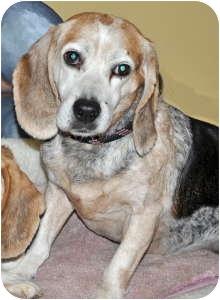 Beagle Dog for adoption in Port Washington, New York - Willie