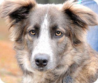 Anatolian Shepherd/Collie Mix Dog for adoption in Wakefield, Rhode Island - SWEET WILLIAM-HE IS!!!