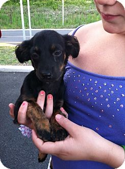 Chihuahua Mix Puppy for adoption in Shirley, New York - Belle