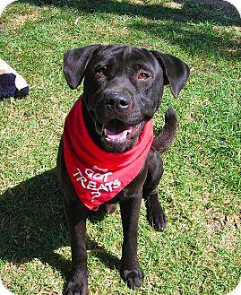 Labrador Retriever/Shar Pei Mix Dog for adoption in El Cajon, California - Rex
