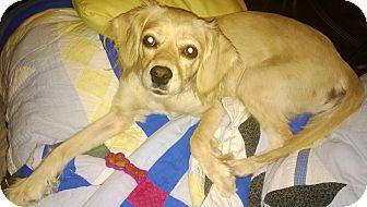 Cocker Spaniel Mix Dog for adoption in Kingwood, Texas - Patsy