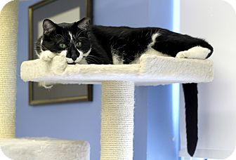 Domestic Shorthair Cat for adoption in Chicago, Illinois - Simon Masters