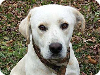 Labrador Retriever/Pointer Mix Dog for adoption in Salem, New Hampshire - RILEY