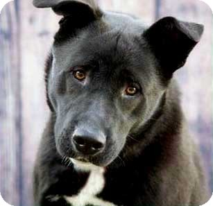 Shepherd (Unknown Type) Mix Dog for adoption in Salem, New Hampshire - DASHER