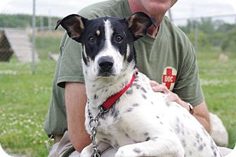 German Shorthaired Pointer/Shepherd (Unknown Type) Mix Dog for adoption in Elyria, Ohio - Penny-Prison Dog