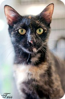 Domestic Shorthair Cat for adoption in Manahawkin, New Jersey - Tess