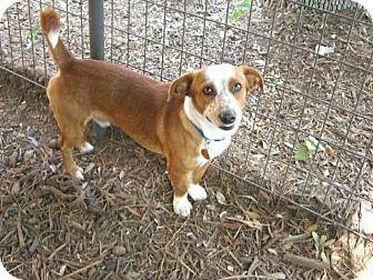 Corgi Mix Dog for adoption in Fair Oaks Ranch, Texas - Corky