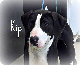 Great Dane/Hound (Unknown Type) Mix Dog for adoption in Defiance, Ohio - Kip