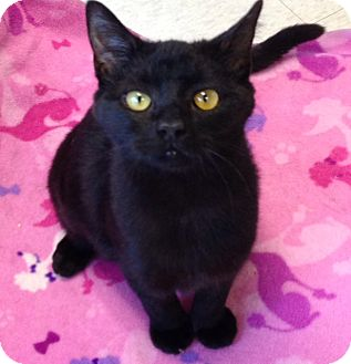 Domestic Shorthair Cat for adoption in Columbia, South Carolina - Cinnamon
