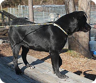 Labrador Retriever Mix Dog for adoption in Marble, North Carolina - Max