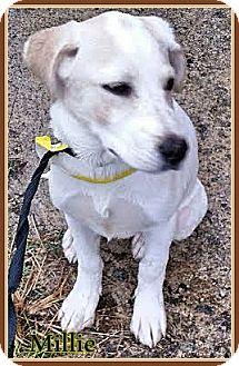 Labrador Retriever Mix Puppy for adoption in Ahoskie, North Carolina - Millie