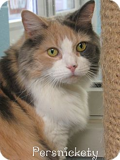 Domestic Mediumhair Cat for adoption in Jackson, New Jersey - Persnickety