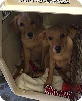 Golden Retriever Mix Puppy for adoption in Greensburg, Pennsylvania - Camella