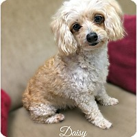 Adopt A Pet :: Daisy - Pascagoula, MS