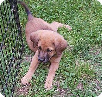 German Shepherd Dog/Boxer Mix Puppy for adoption in Lima, Pennsylvania - Pammy