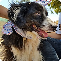 Border Collie Dog for adoption in Apple Valley, California - Domino- ADOPTED 7/23/17!