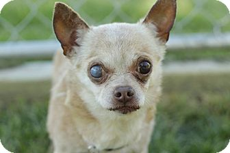 Chihuahua Dog for adoption in Romeoville, Illinois - Harry