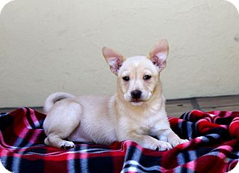 Shiba Inu/Terrier (Unknown Type, Small) Mix Puppy for adoption in Los Angeles, California - Blush