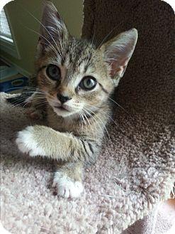 Domestic Shorthair Kitten for adoption in Nashville, Tennessee - Zeke