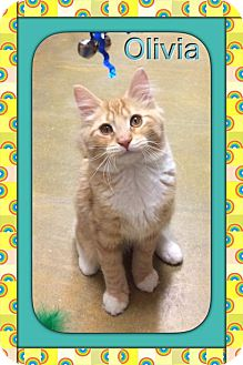 Maine Coon Kitten for adoption in Atco, New Jersey - Olivia