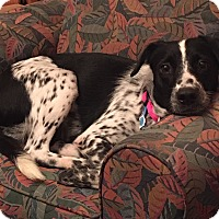 Adopt A Pet :: Ally - Fredericksburg, VA