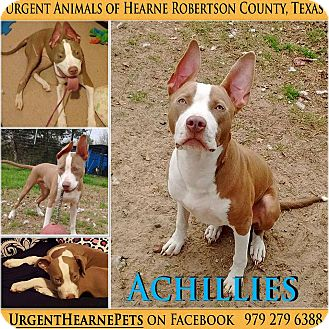 American Staffordshire Terrier Mix Puppy for adoption in Hearne, Texas - Achillies