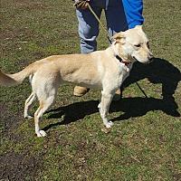Labrador Retriever Mix Dog for adoption in Middletown, New York - Madi